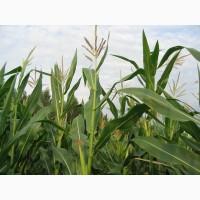 Семена Кукурузы ДКС 3050 (DKC 3050)