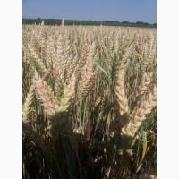 Канадские семена пшеницы Фопс 1-реп.(двуручка)