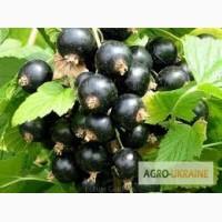 Черенки черной смородины, недорого