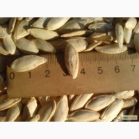 Посевмат Тыква Болгарка ( Дамский ноготь) посевной материал от производителя 1 репродукции