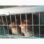 Продам яйцо перепелов ФАРАОН и белый Техасский