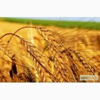 Куплю Пшеницу 2-3 кл., фураж