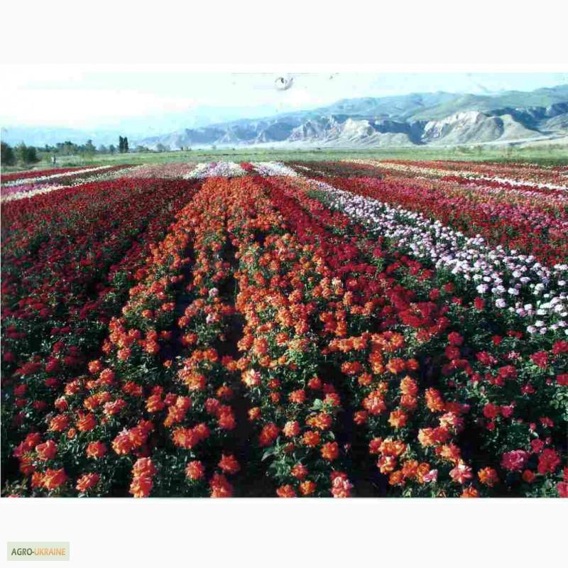 плантаций роз эквадора фото