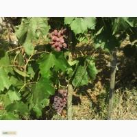 Саженцы столового и винного винограда, подвой винограда