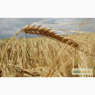 Закупим пшеницю, жито, кукурузу