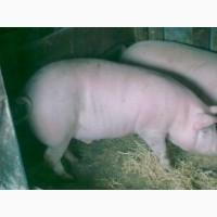 Продам свиней мясного направления