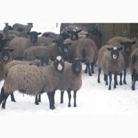 Куплю Романовскую породу овец на постоянной основе, самовывозом