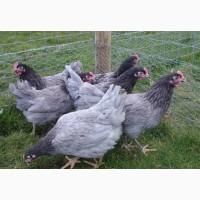 Кури Домінант, продам яйце інкубаційне яєчної породи