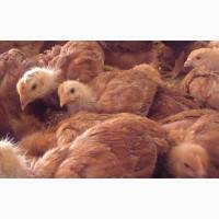 Продам курчата Фоксі Чік