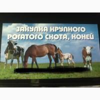 Заготовка купівля Врх корів, бичків, телиць, телят, коней, лошат