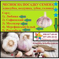 Продам чеснок на посадку ярий Сочинський 56