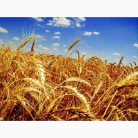 Семена озимой пшеницы МИДАС 8000 грн