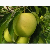Продам Яблука оптом різних сортів