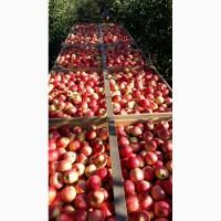 Продам яблуки