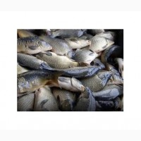 Продажу живой рыбы (малька и товарная) карп, амур, толстолобик, судак