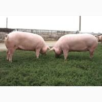 Свиньи живым весом 100-150 кг по 43 грн кг
