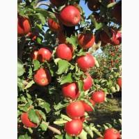 Продам яблоневый интенсивный сад 86 га