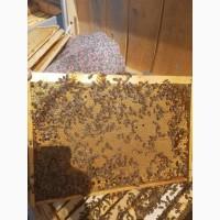 Бджоломатки, Карпатской породы(плодные)2019, Вучковского типа, Говерла
