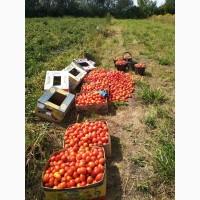 Продам томати