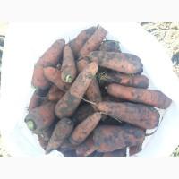 Продам тупоносую Морковь среднего размера Абако