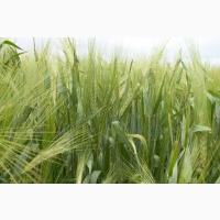 Семена рожь жито Синтетик