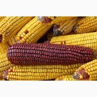 Закуповуємо великим оптом у виробника кукурузу фураж