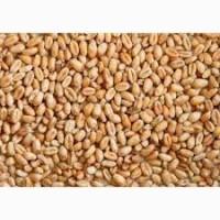Продам пшеницю сорт Кубус