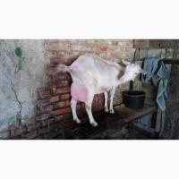 Продам дойную зааненскую козу высокоудойной линии после первого окота