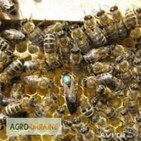 Карпатские матки с пчелопитомника