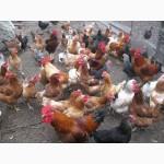 Цыплята, утята, гусята, индюшата. Суточные и подрощенные. Опт розница