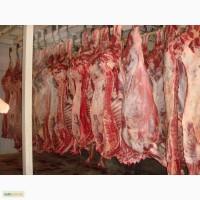 Продам говядину(молодняк)