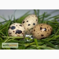 Инкубационные яйца перепелов разных пород