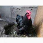 Кохинхин, куры, петухи, цыплята, яйца