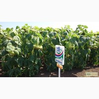 Семена подсолнечника НС Имисан экстра (Евро-Лайтинг) Сербия