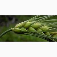 Продам ярую пшеницу Недра