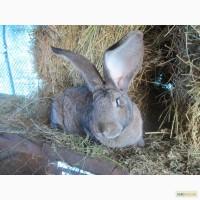 Продам кроликів породи- Фландр, Білий велетень, Шиншила