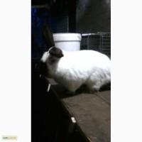 Продаем племенных кроликов. Калифорнийцев и термнонцев