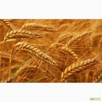 Закупаем пшеницу, кукурузу, ячмень, овес, подсолнечник по Луганской области