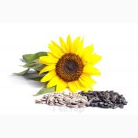 Семена подсолнечника Лимит под евролайтнинг