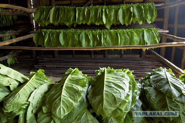 поиск, как правильно сушить листья табака оценить