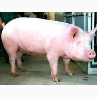 Продам три свиноматки до 170 кг одна