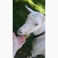 Продам козу Тернопіль