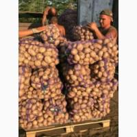 Продам молодой картофель. Сорта Ривьера