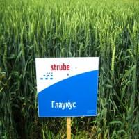 Пшеница озимая Глаукус 1 репродукция