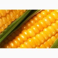 Продам насіння кукурузи кобальт cobalt сенгента