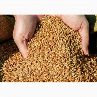 Закупка пшениці на постійній основі