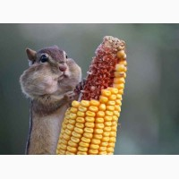 Продам кукурузу срочно 1000 тонн 3400 нал