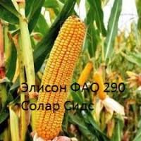 Семена кукурузы Элисон Solar Seeds ФАО 290