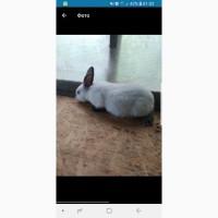 Кролики Каліфорнійські, Каліфорнія