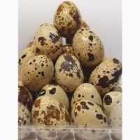 Пропоную перепелині яйця